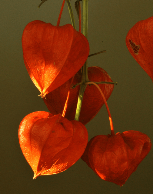 1000+ Images About Physalis On Pinterest | Autumn, Flower And Search
