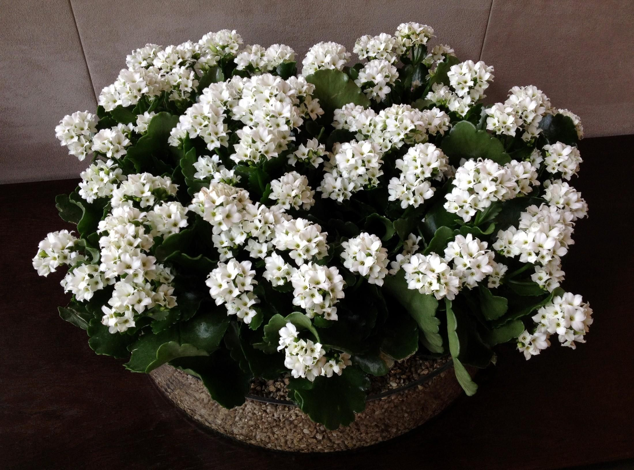 Indoor Plants And Flowers 2200x1630 Wallpaper Kalanchoe Flowers White Indoor