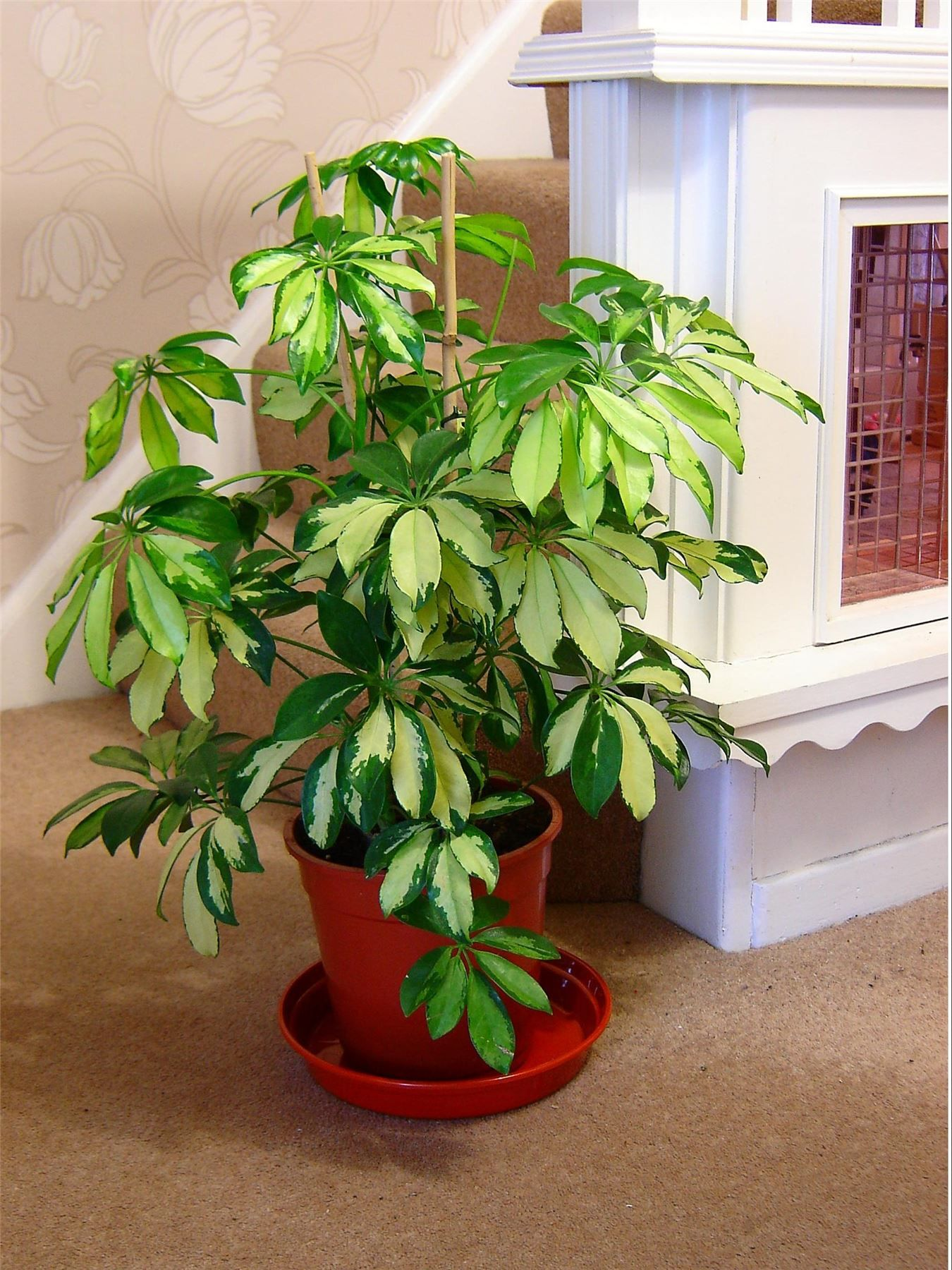 Tall Indoor Plants With Big Leaves Schefflera Umbrella Tree Is Trees Shrubs Liana Flowering