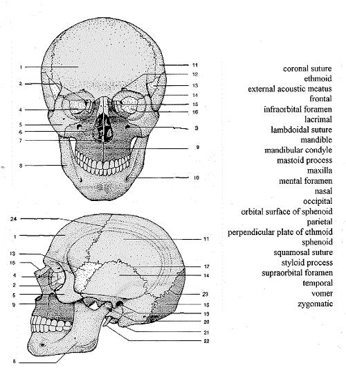 facial diagram to label