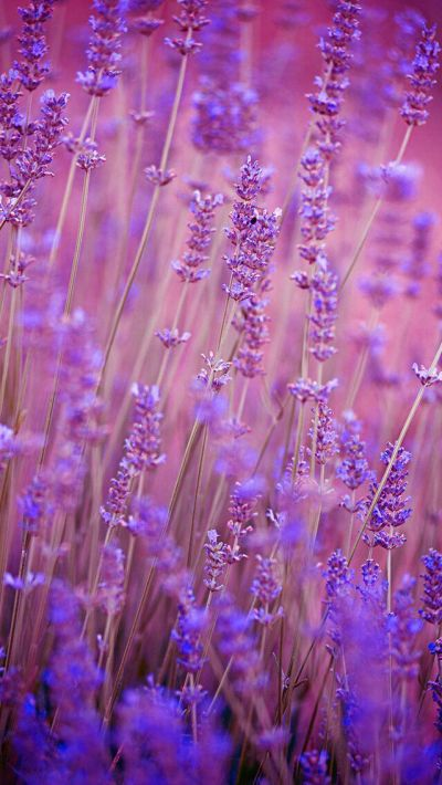 Nature wallpaper iPhone flowers purple | Nature wallpapers iPhone | Pinterest | Nature wallpaper ...