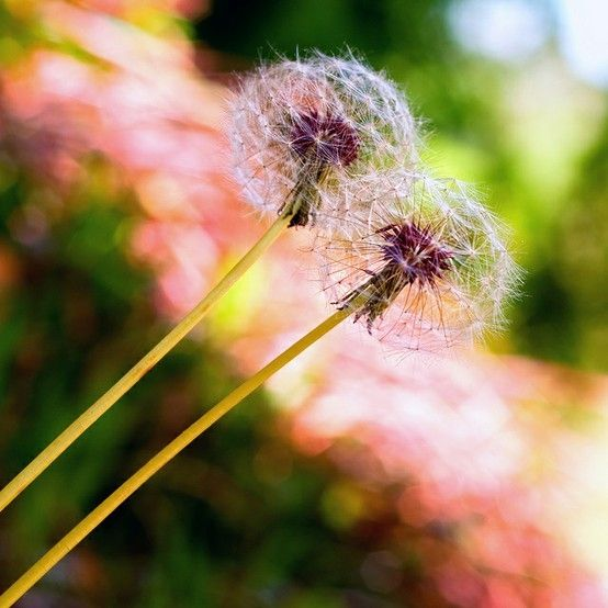 Iphone Wallpaper Pinterest Dandelions Roses Flowers And Scented Dreams ﻶﻉﻶჱჱﻶﻉﻶჱ