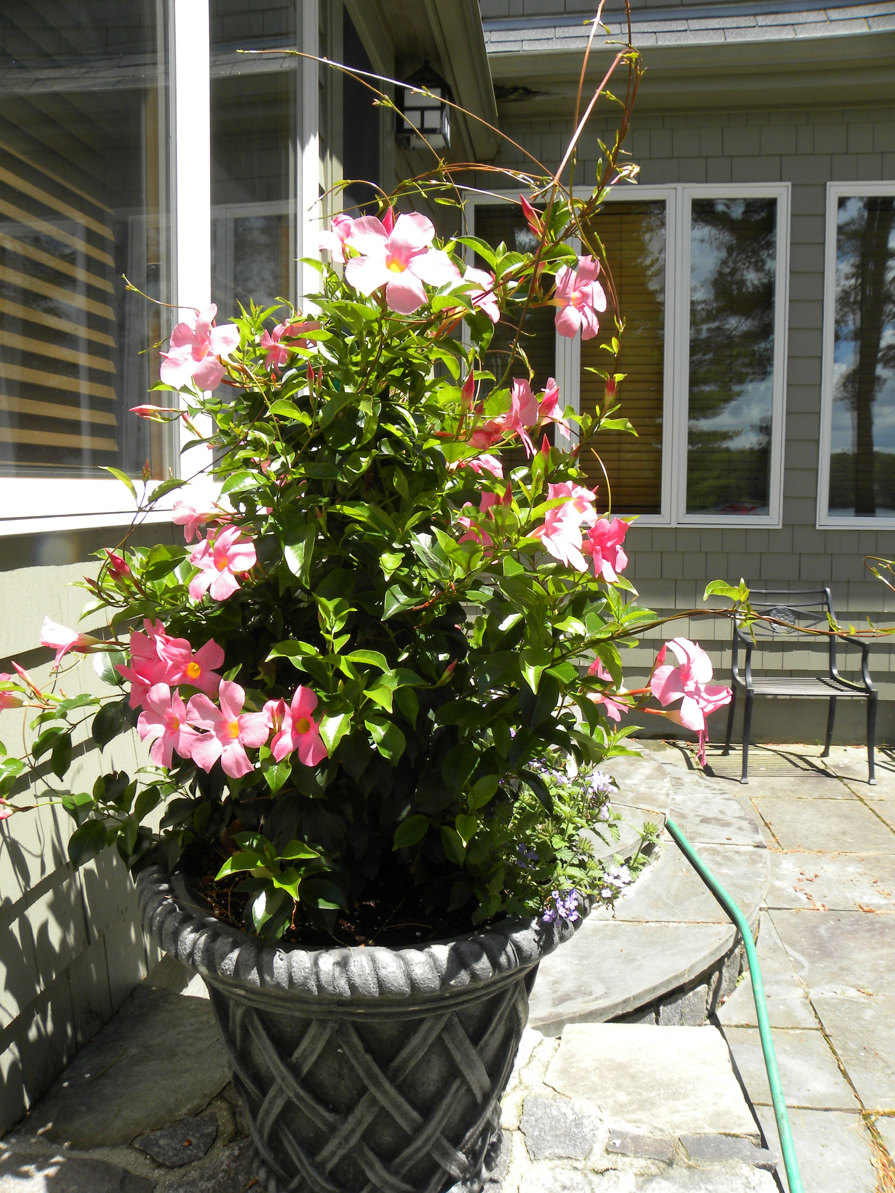 Dipladenia Hiver Dehors Mandevilla Vine In A Pation Concrete Container Very