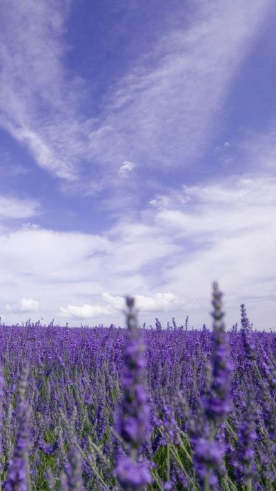 Nature Purple Lavender Garden iPhone 6 wallpaper | Wallpapers | Pinterest | Gardens, Lavender ...