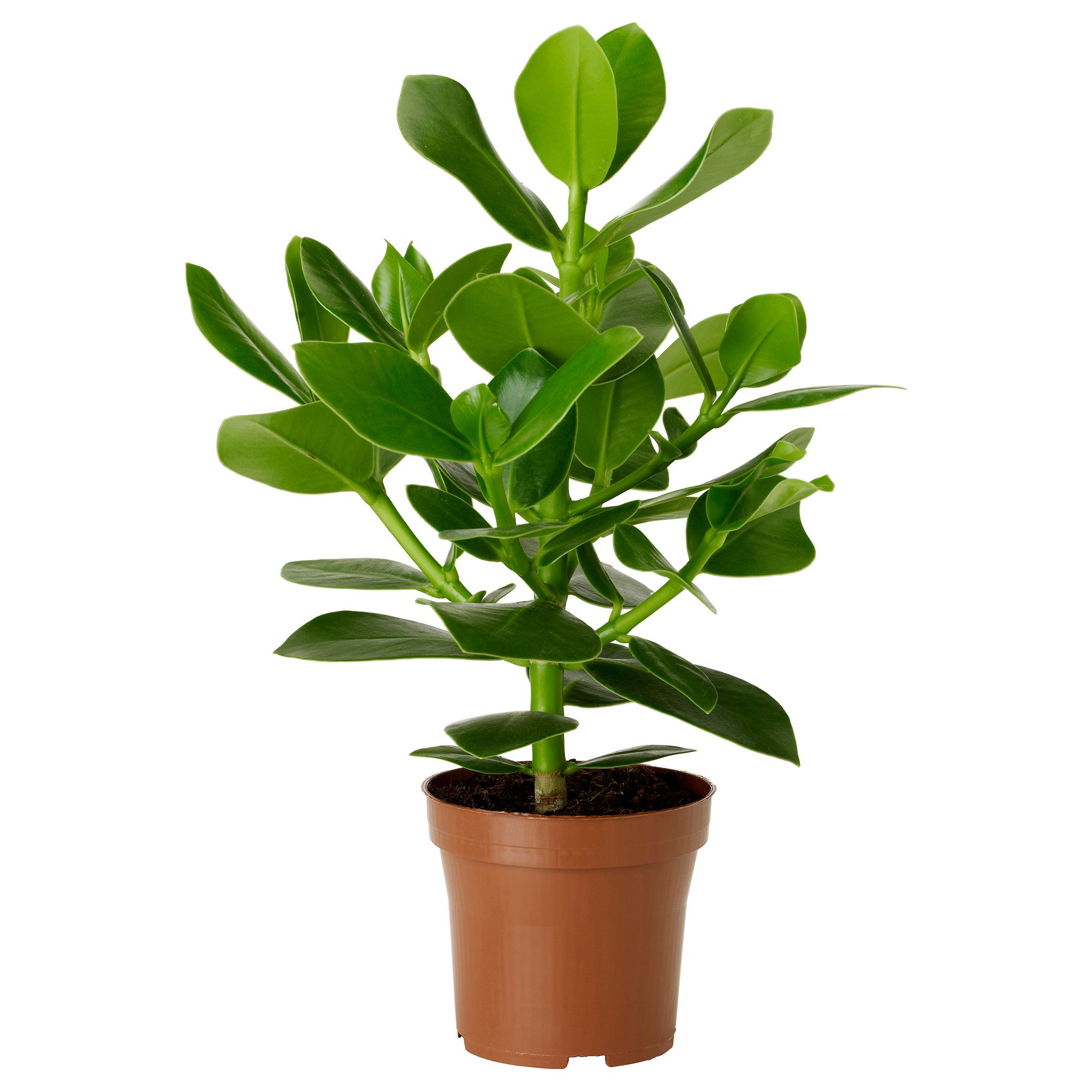 Ikea Planters Large Clusia Planta Clusia Large Indoor Plants And Bedroom Inspo