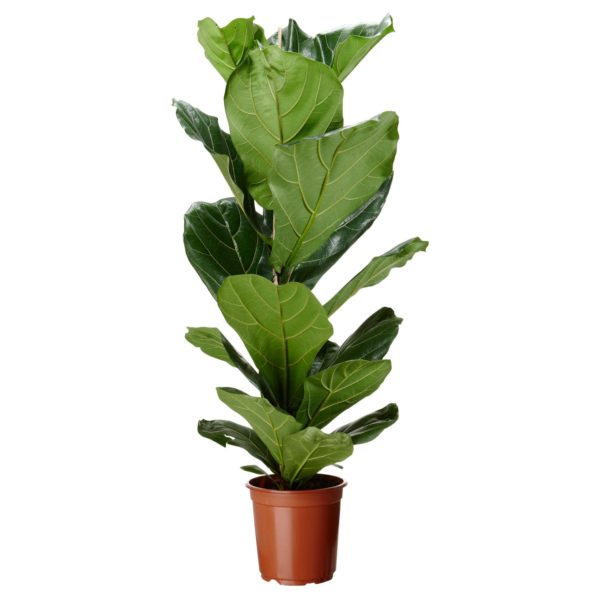 Ikea Planters Large Ficus Lyrata Potted Plant Ikea 13 Fiddle Leaf Fig