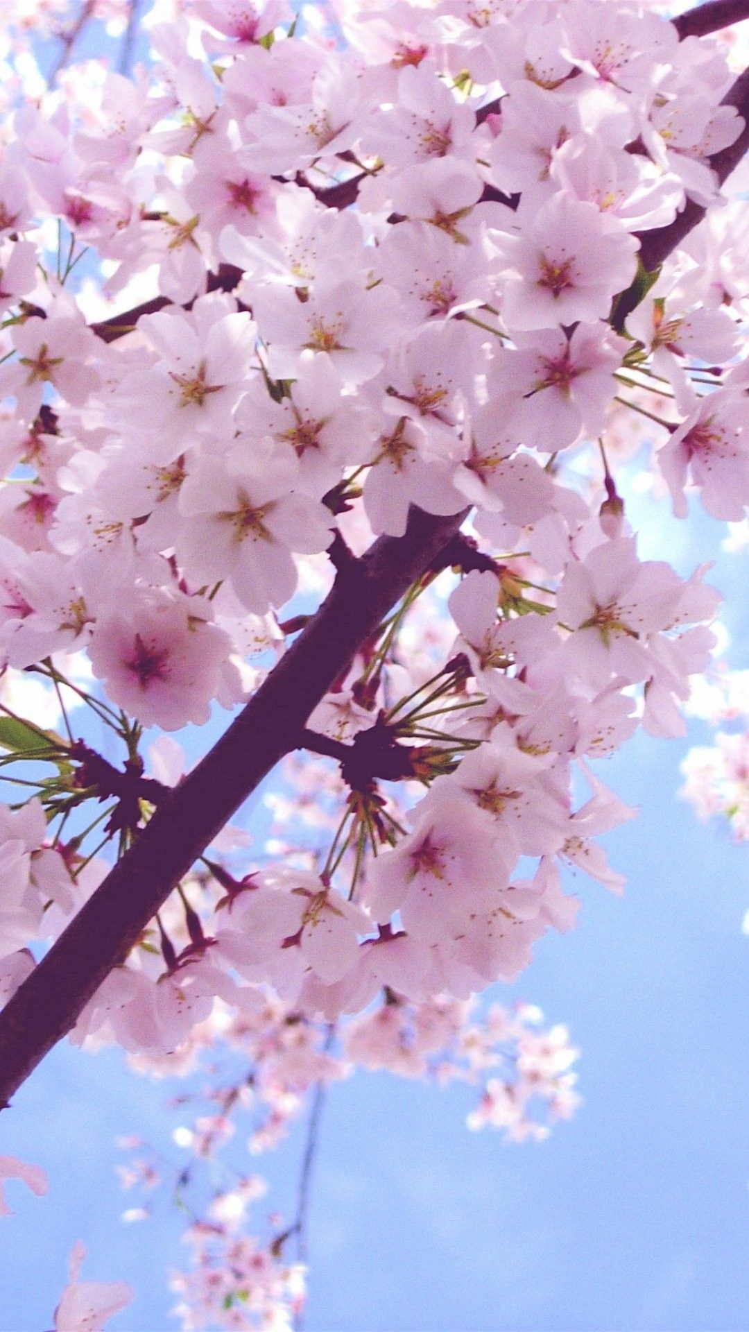 Cherry blossom iphone 6 plus wallpaper 6556 flowers iphone 6 plus wallpapers