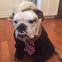 A bulldog in a Donald Trump costume for Halloween! | Dog ...