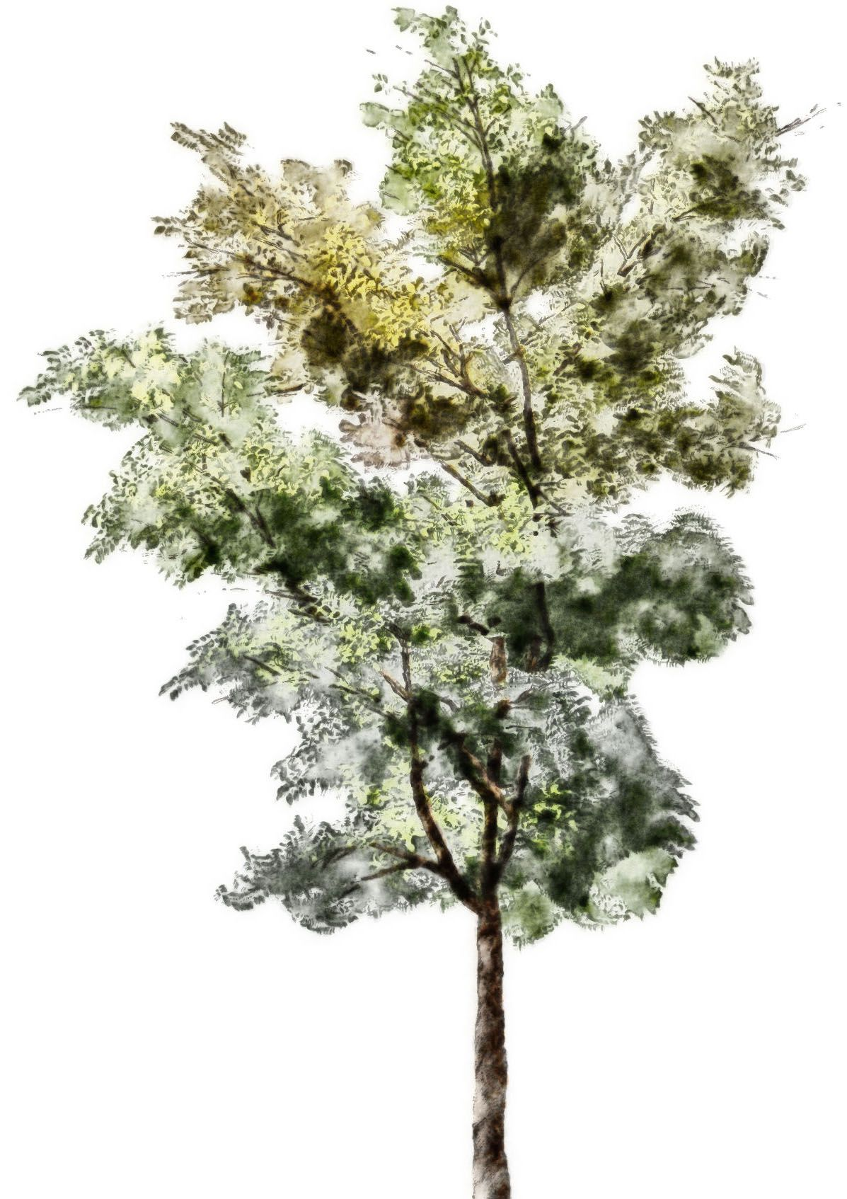 Tree Drawing With Watercolor Tree Sketches Colors Google Search Graphic Trees