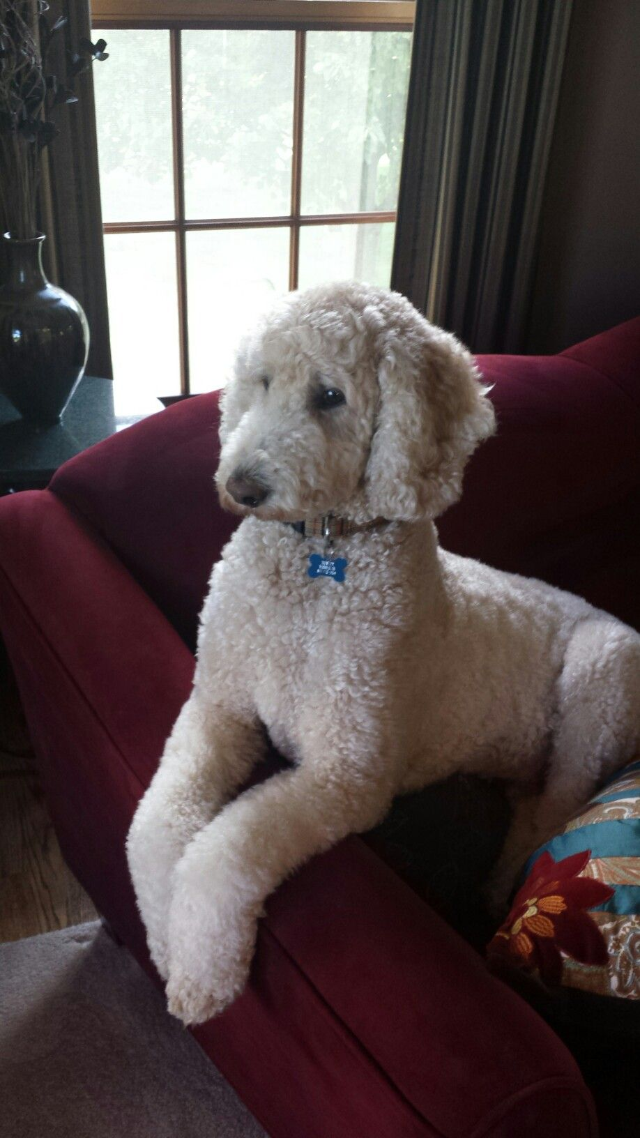 Bosley are standard poodle