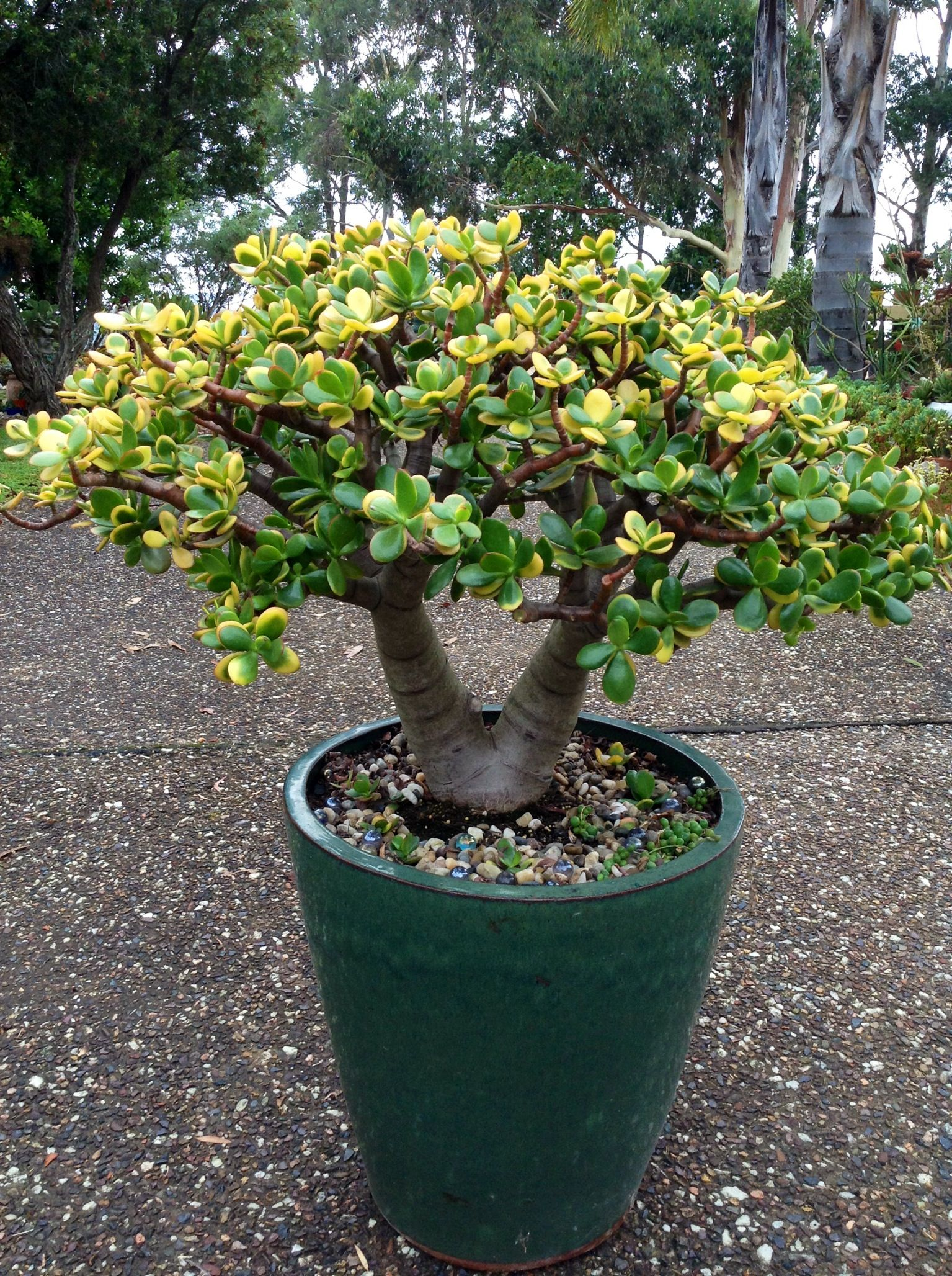 Jade Pflanze Crassula Ovata Quothummels Sunset Quot Crassula Ovata