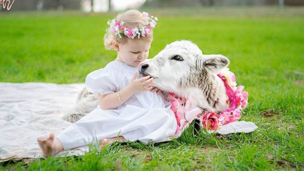 Baby Toddler And Town Little Girl Befriends Baby Cow That Lost Its Mom Abc News