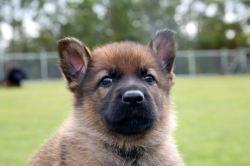 Small Of German Shepherd Names