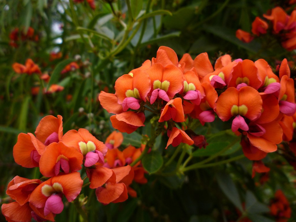 Strawberry Plants For Sale Australia Rare Loud Coral Pea Flower Kennedia Coccinea 5 Seeds