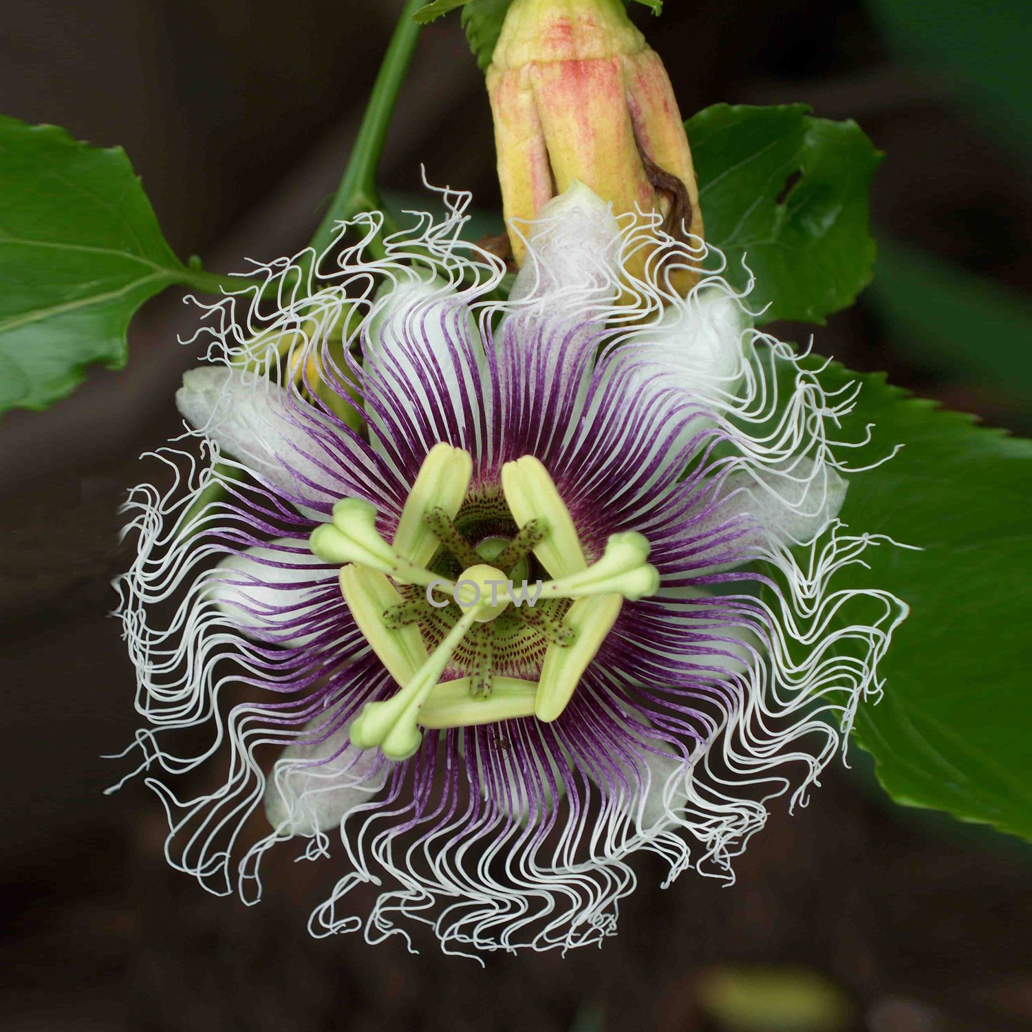 Passiflora Edulis Passion Flower Purple Granadilla Passiflora Edulis 10 Seeds