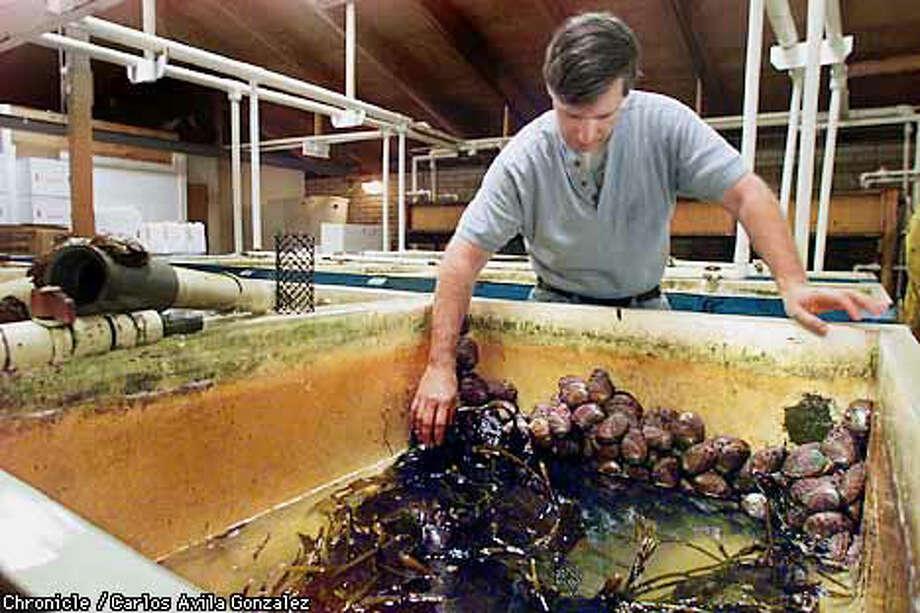 Keeping Kelp Afloat Abalone Farmers Harvest The Seaweed