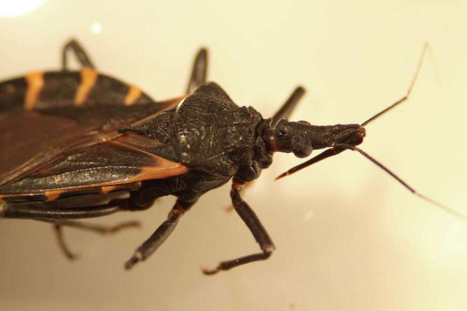 Deadly \u0027kissing bug\u0027 spreads; bites you as you sleep - San Antonio