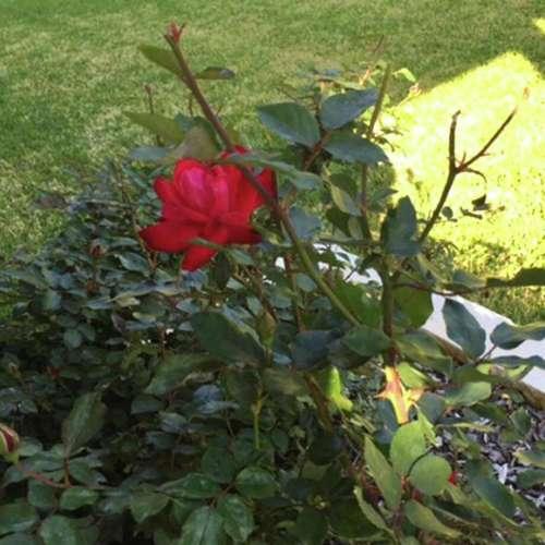 Medium Crop Of Pruning Knockout Roses