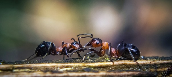 Dueling Ants