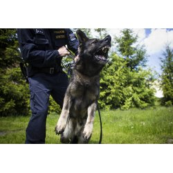 Sweet Police Dogs Hail From Overseas German Shepherd Police Dog Breeders German Shepherd Police Dog Czech Why So Many Action bark post German Shepherd Police Dog