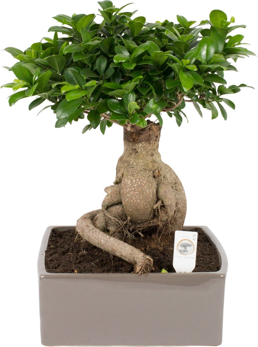 Bonsai Aarde Bonsai Ficus Ginseng 4kant In Keramiek Pot 31 Cm