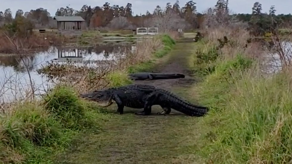 Toggler Alligator Huge Alligator Returns To Florida Nature Preserve Maybe The