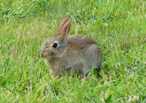 A Wild Rabbit at Lossiemouth