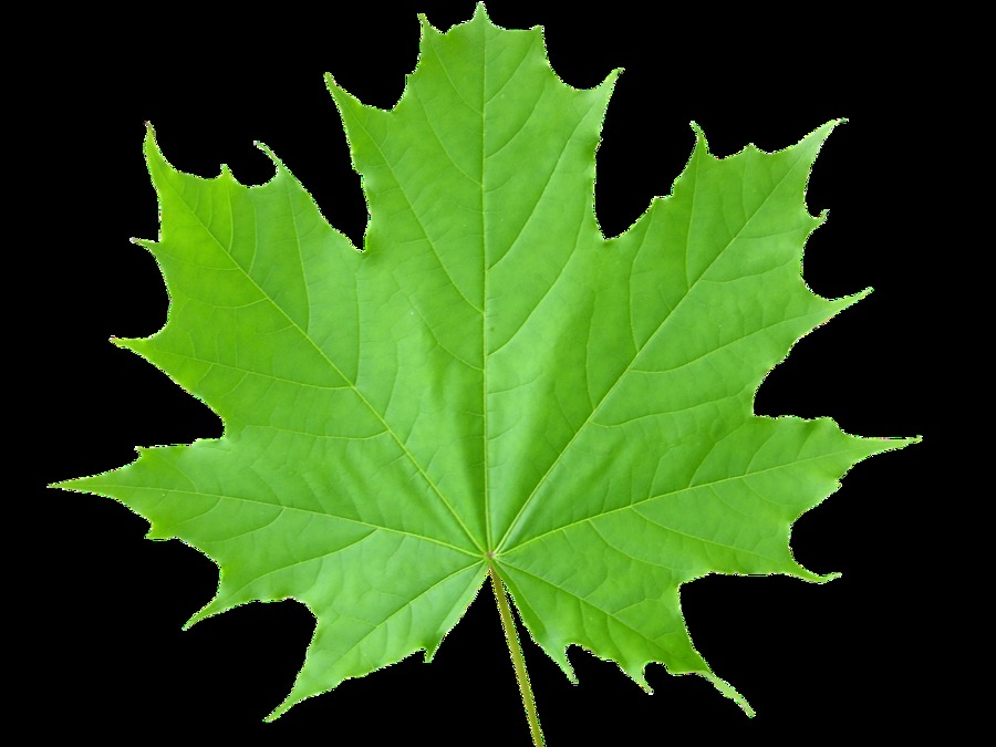 Falling Maple Leaves Wallpaper Maple Leaf Wallpaper High Definition High Quality