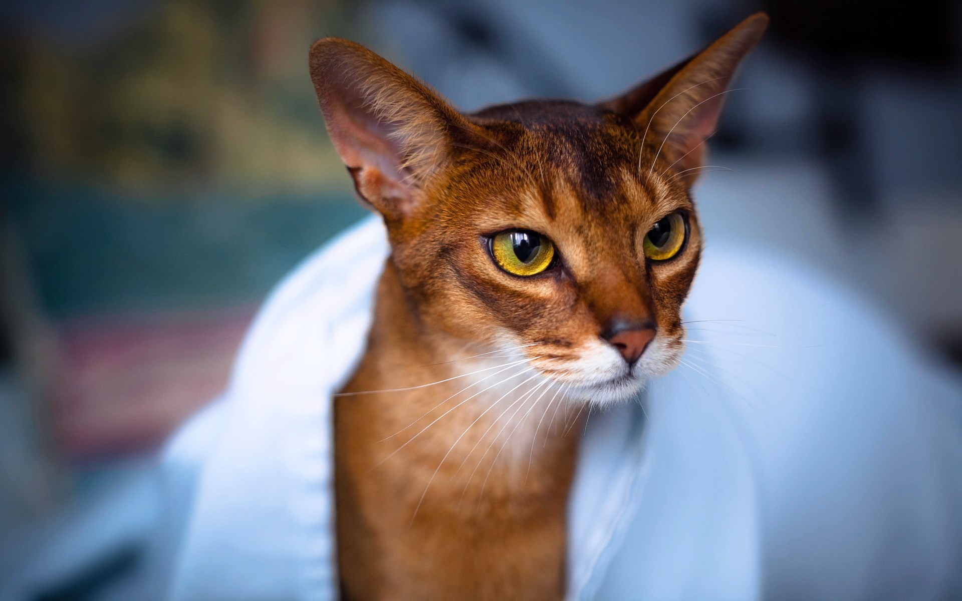 Bengal Cat Hd Wallpaper Abyssinian Cat Wallpaper High Definition High Quality