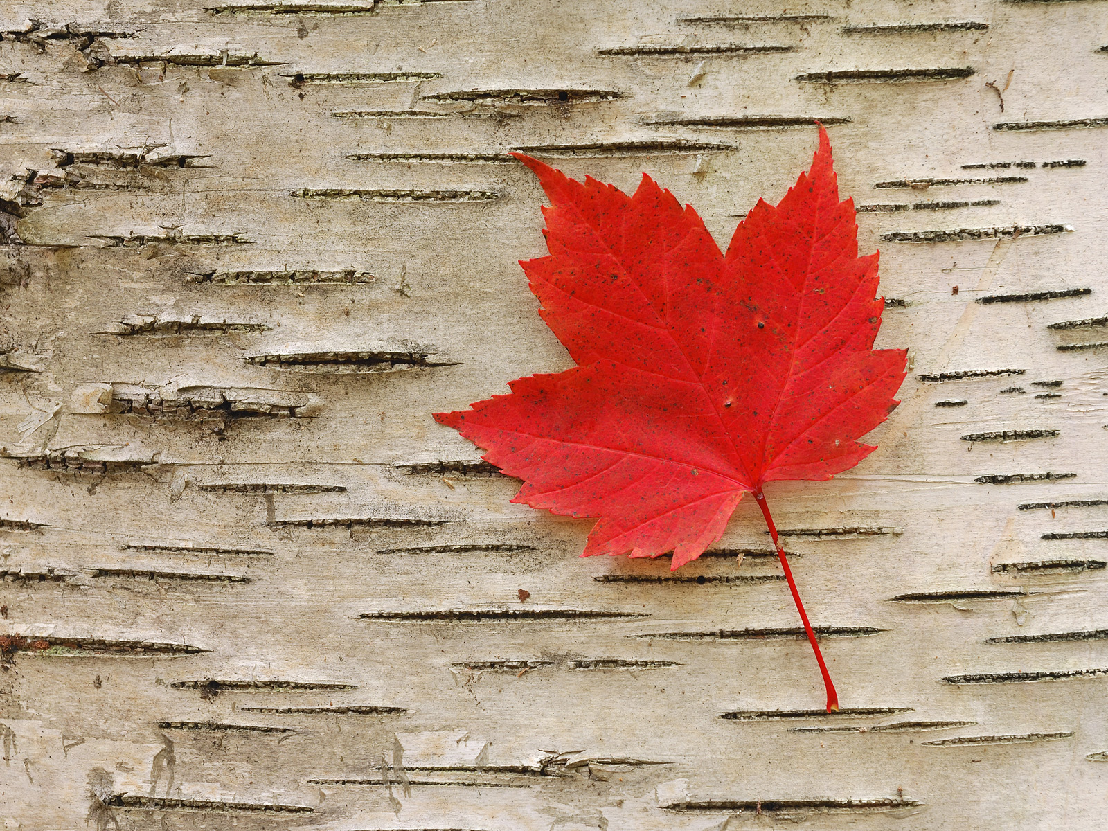Fall Leaves Hd Wallpaper Maple Leaf Image Wallpaper High Definition High