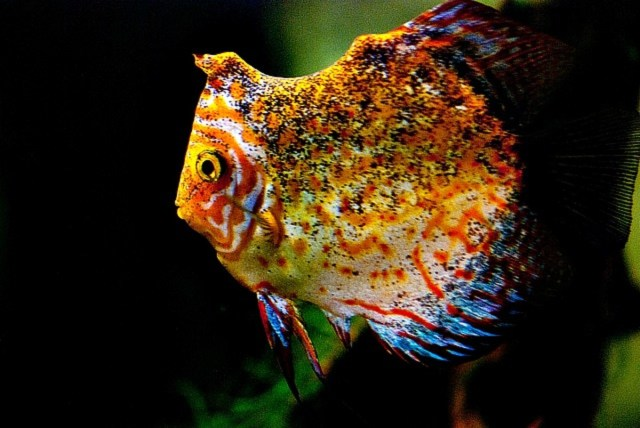 Discus fish various types ornamental fish wholesale for Discus fish types