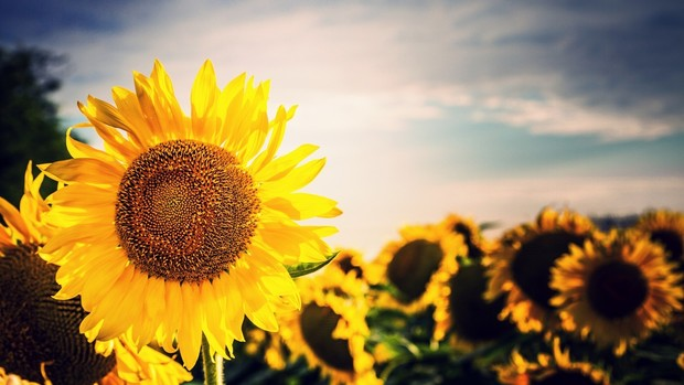 Sunflower Wallpaper With Quote Sunflower Wallpapers Best Wallpapers