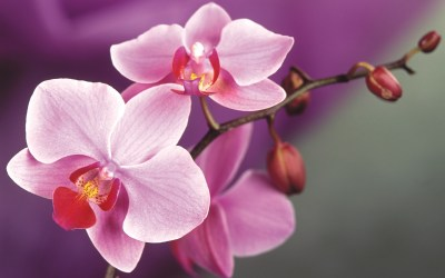 Orchids Wallpapers | Best Wallpapers