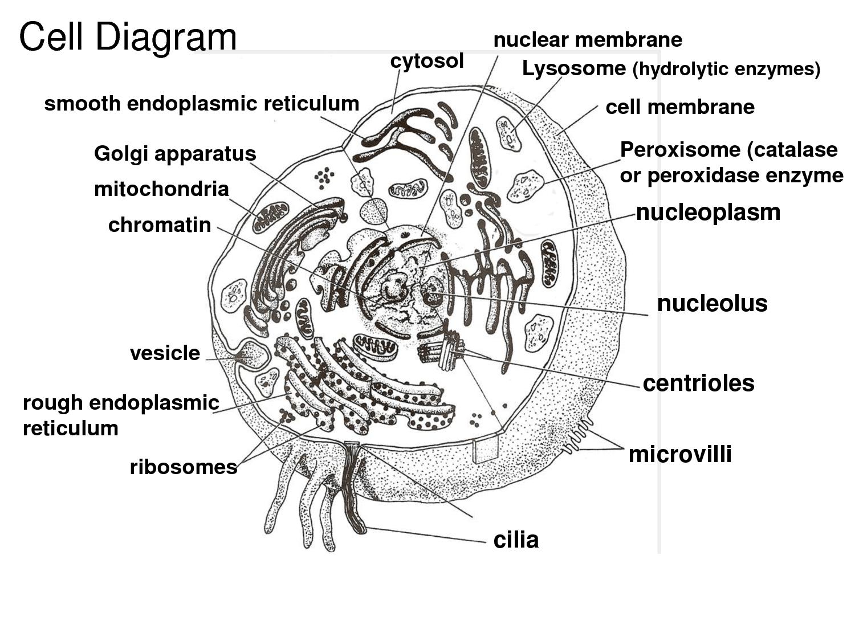pics photos cytoskeleton diagram diagram of a cell