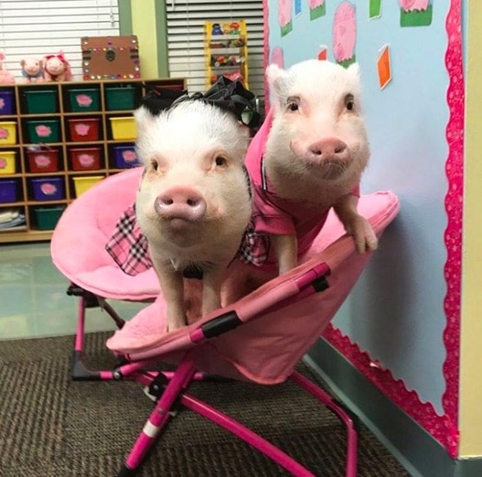 This Teacher Takes Two Pigs to Her Classroom Every Single Day