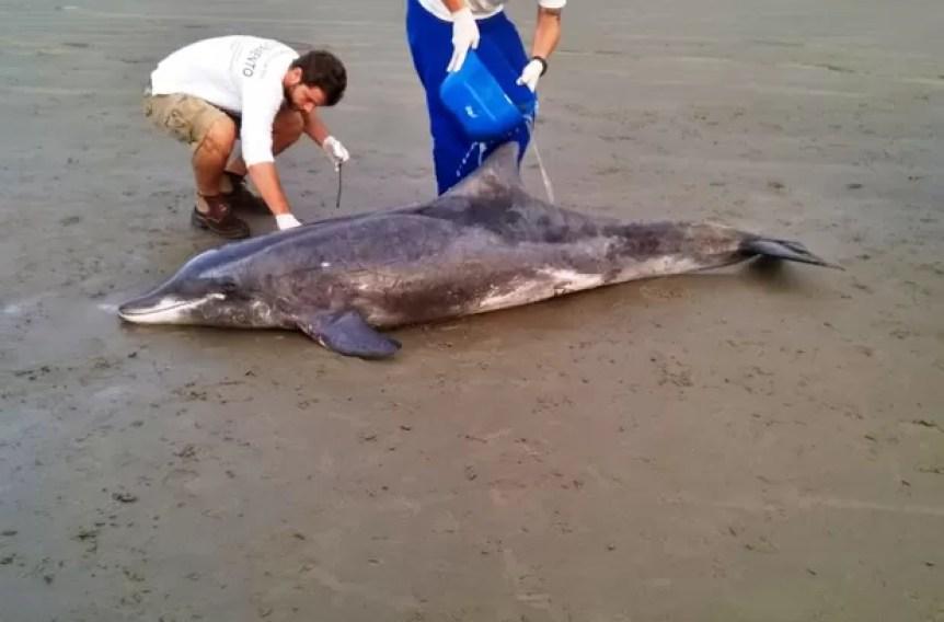 O golfinho foi encontrado na Praia dos Sonhos, em Itanhaém, SP (Foto: Márcio Bracioli/Arquivo pessoal)