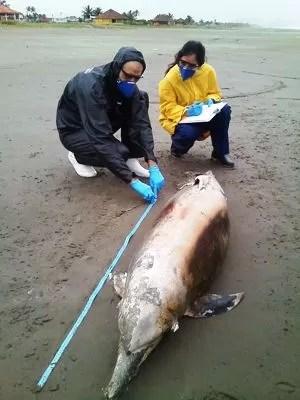 Biólogos verificam coletam dados de golfinho morto (Foto: Projeto Biopesca / Divulgação)