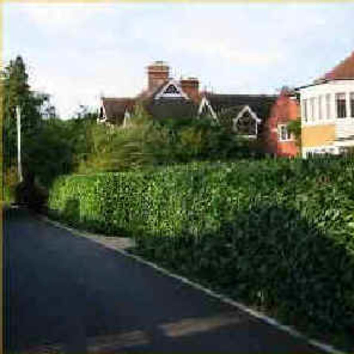 Backyard Privacy Hedges