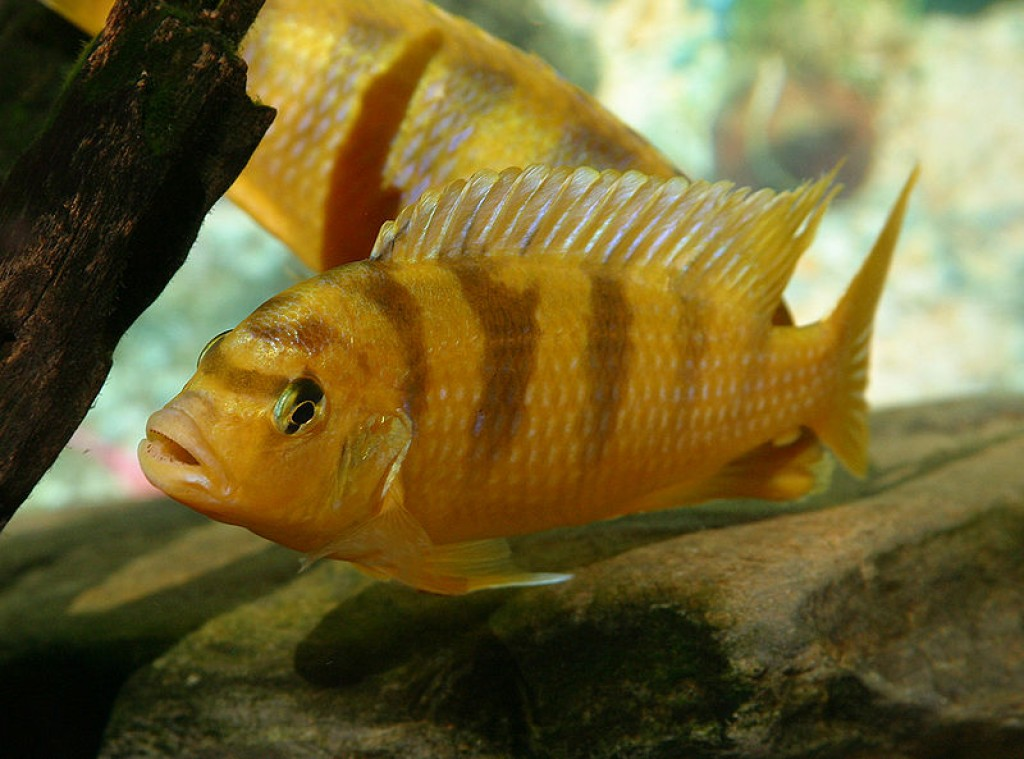 Lion Quotes Wallpaper Gallery Kenyi Cichlid