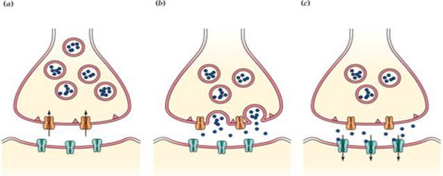 Neuromuscular Junction - ThingLink - neuromuscular junction