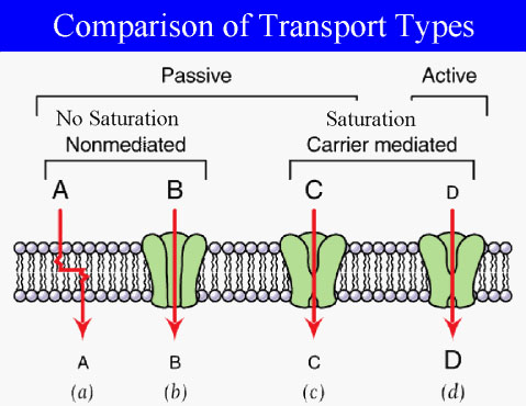 Passive transport is a movement of biochemicals and other