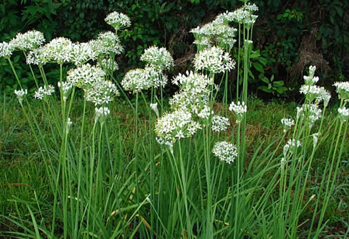 Bachelor Button Plant Flower Medicinal Uses Garlic Chives Herb Seeds (allium Tuberosum) – My Lestary Seeds