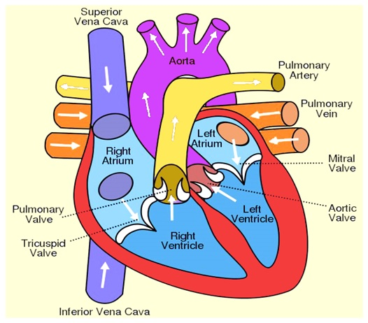 Heart Diagram Anatomy Of Heart Different Parts Of The Heart
