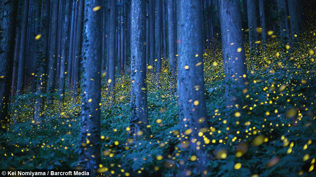 Girl Falling Through The Air Wallpaper Enchanted Forest Fireflies Create Magical Spectacle In Japan