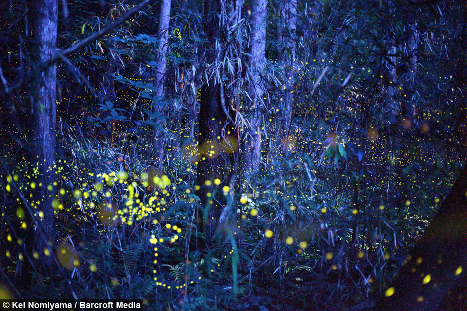 Falling Down Flowers Wallpaper Enchanted Forest Fireflies Create Magical Spectacle In Japan