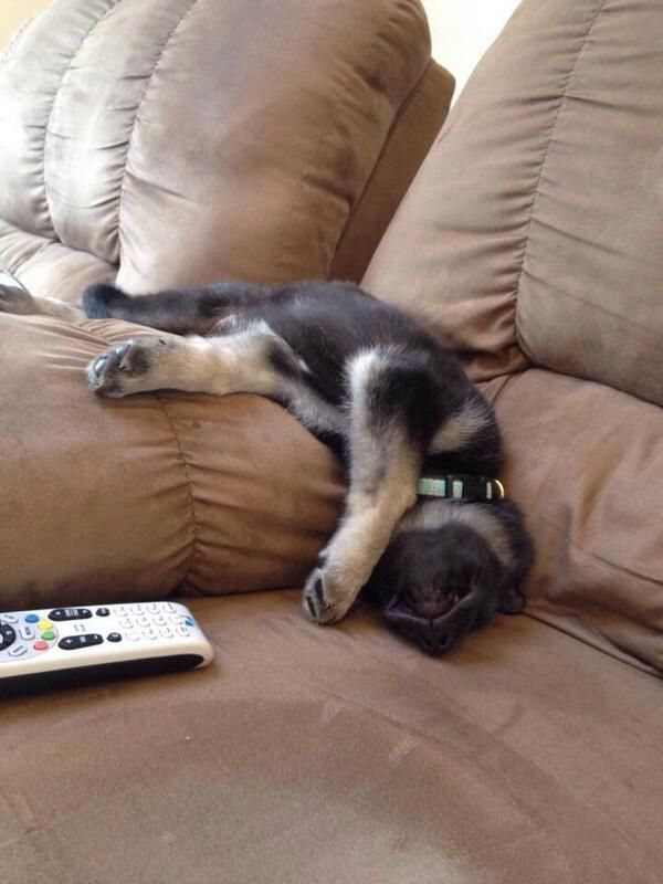 Most Comfortable Couch 18 Of The Most Insanely Awkward German Shepherd Sleeping