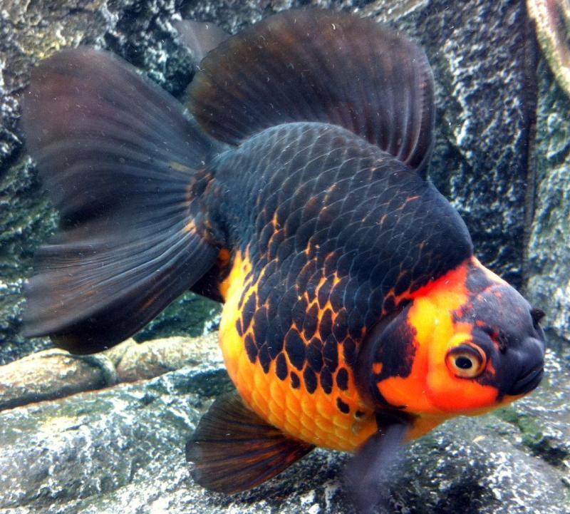 Large Of How Long Do Goldfish Live