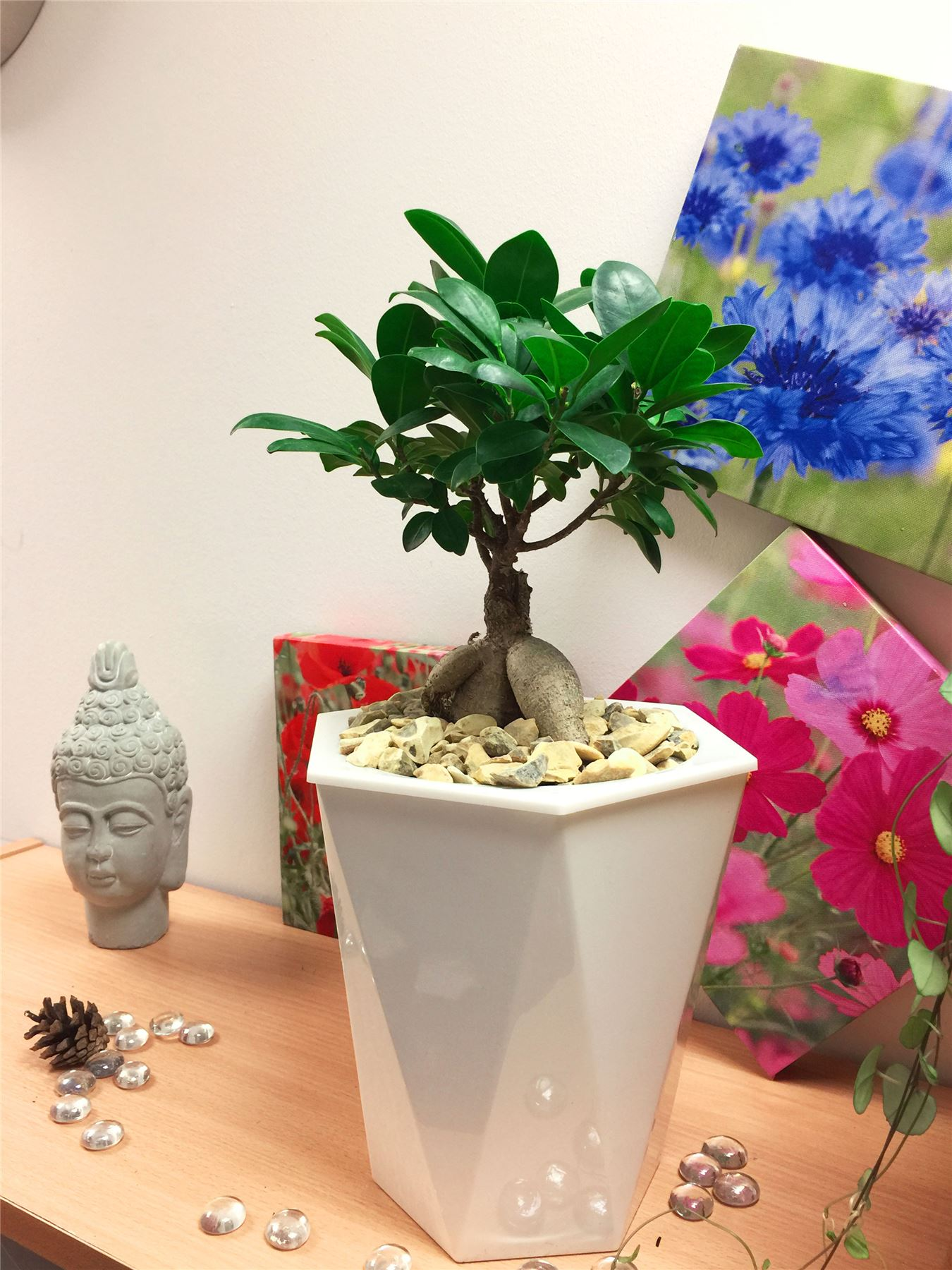 Ficus Ginseng Bonsai Details About Ficus Ginseng House Plant Bonsai Tree White Rhombus Self Watering Pot Gravel Top