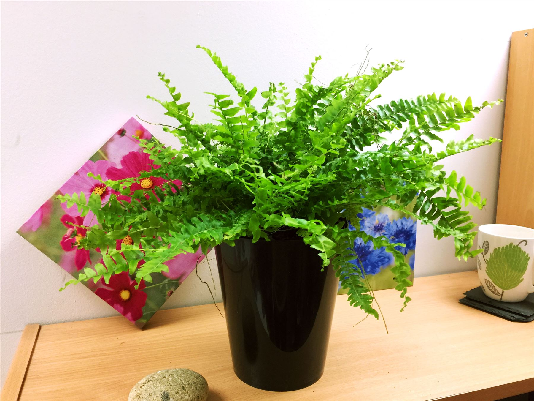 Tall Live Indoor Plants 1 Live Boston Fern Large House Plant Pot Indoor Tropical