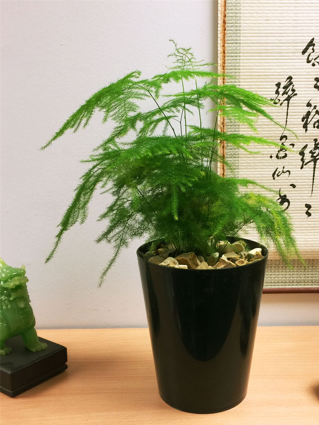 Plant Pot Sale 1 X Asparagus Fern Evergreen Indoor Office House Plant